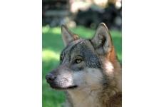 Parc animalier Alpha - <p>Alpha vous propose au cours d'une promenade familiale de 2 à 3 heures, en zone centrale du Parc national du Mercantour, de découvrir les 3 meutes de loups, son univers, son histoire et les conditions de son retour en France.</p>