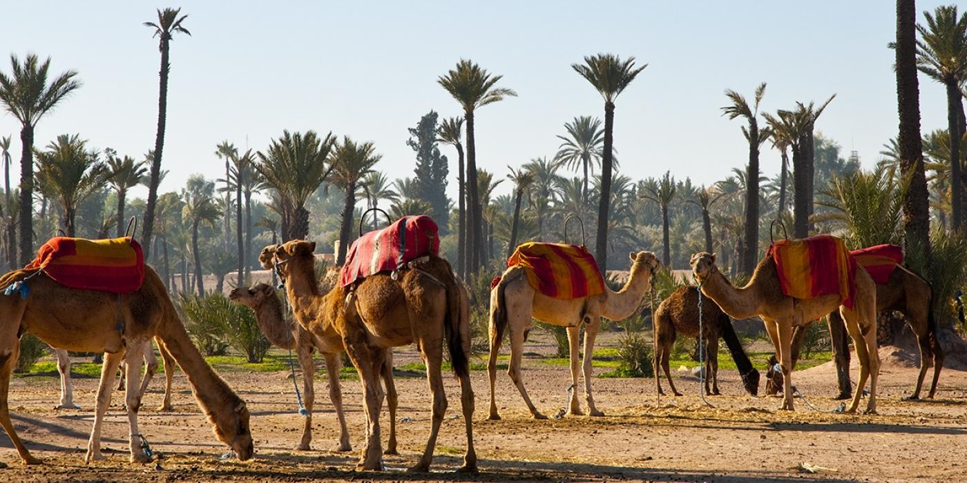 Maroc - Marrakech-chameaux